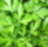 Parsley - flat leaf.PNG