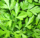 Parsley - flat leaf.PNG
