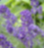 lavendar - english.PNG
