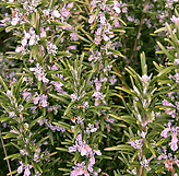 Rosemary - pink.PNG