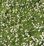 chamomile lawn.PNG