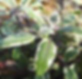 Sage - bicolour.PNG