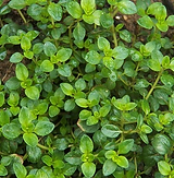 Thyme -.PNG