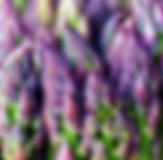 Asparagus purple.PNG