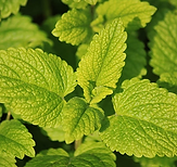 lemon balm.PNG