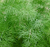 Dill.PNG