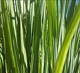 lemon grass.PNG