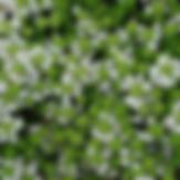 Thyme white carpet.PNG