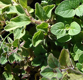 Oregano - greek.PNG