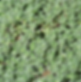 thyme - wooly.PNG