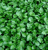 watercress.PNG