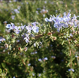 rosemary - tuscan.PNG