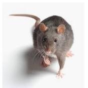 殺蟲公司 - 鼠.jpg