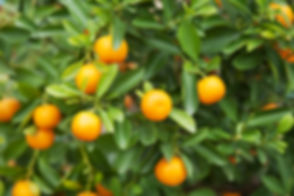 Orange Tree.jpeg