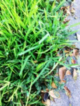 Weedy grass 1.jpg