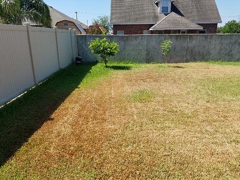 Chinch Bug Damage on St. Augustine lawn.