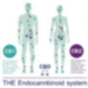 the-endocannabinoid-system (3)_edited.jp