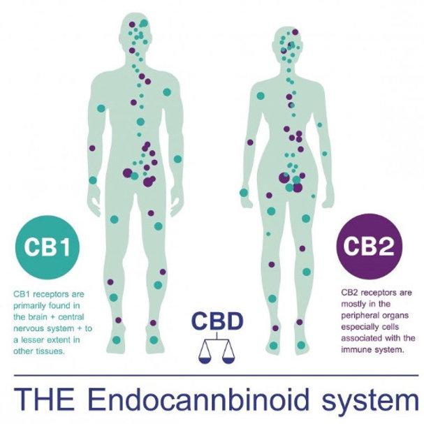 the-endocannabinoid-system (3)_edited.jp