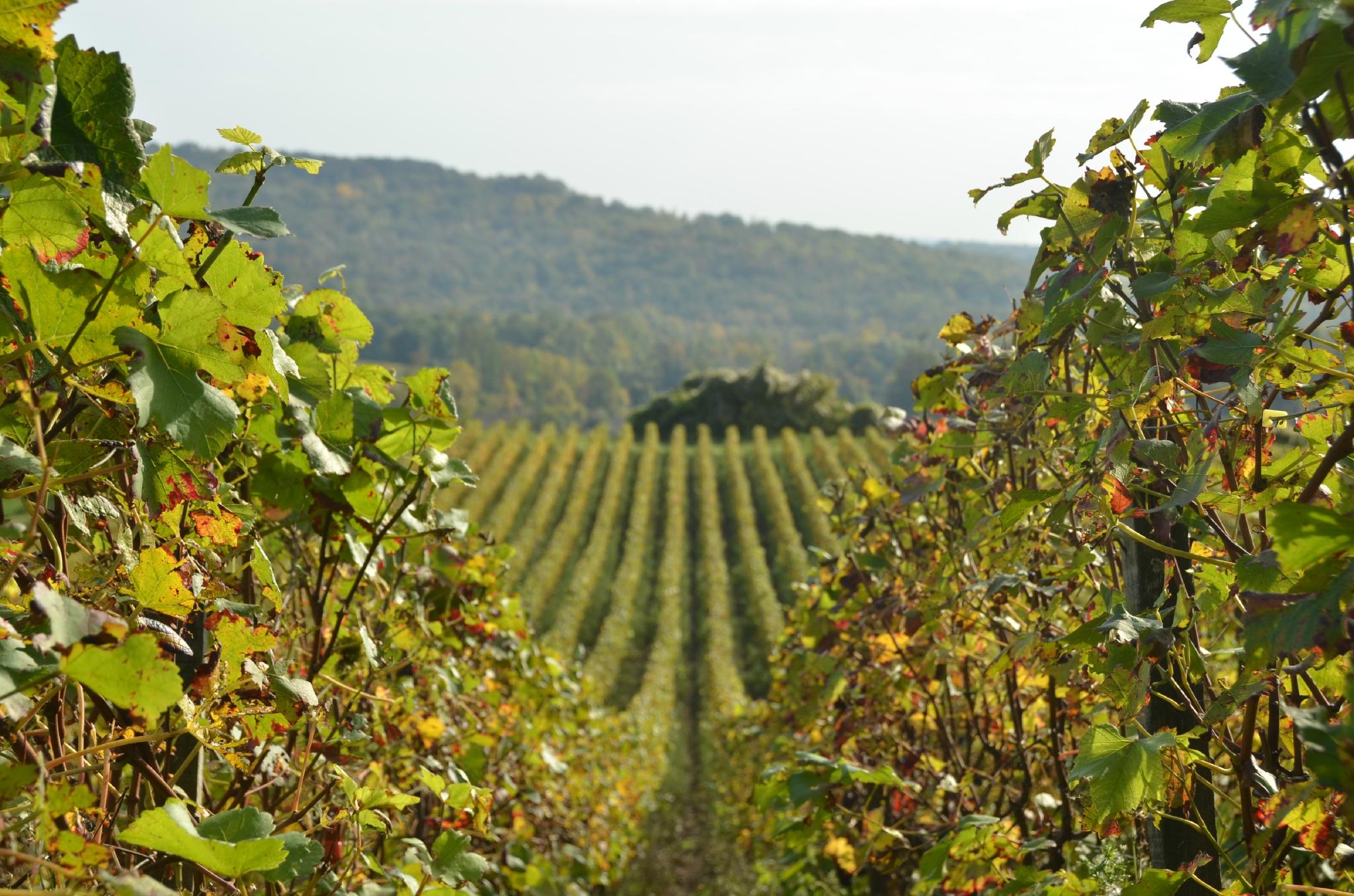 Ballades  dans les vignes