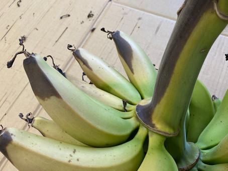 急激な暑さにバナナも日に焼けてしまった!