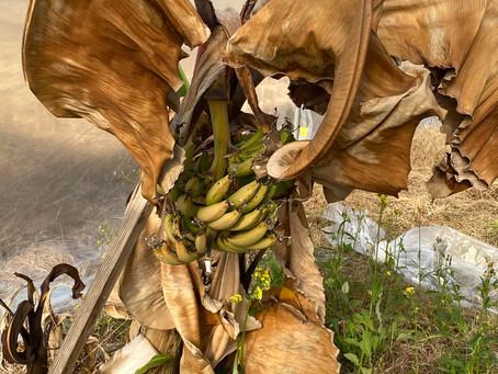 寒さでバナナが枯れてしまいました