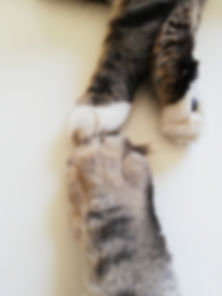 Pattes de Maine Coon Magnifi'cats