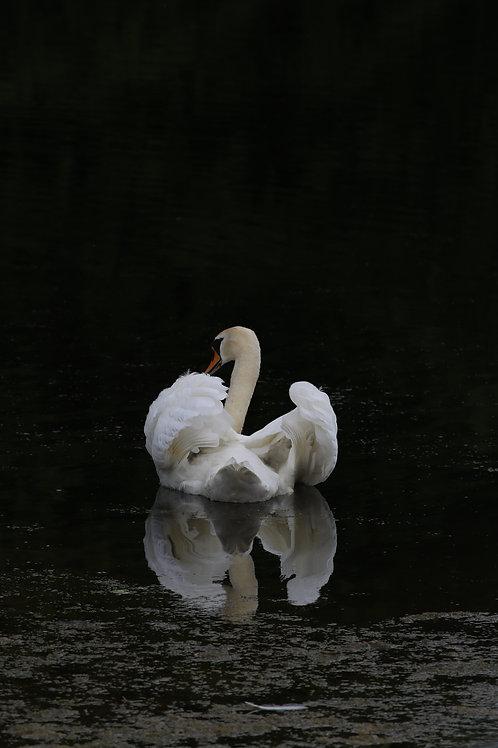 Swan's mirror