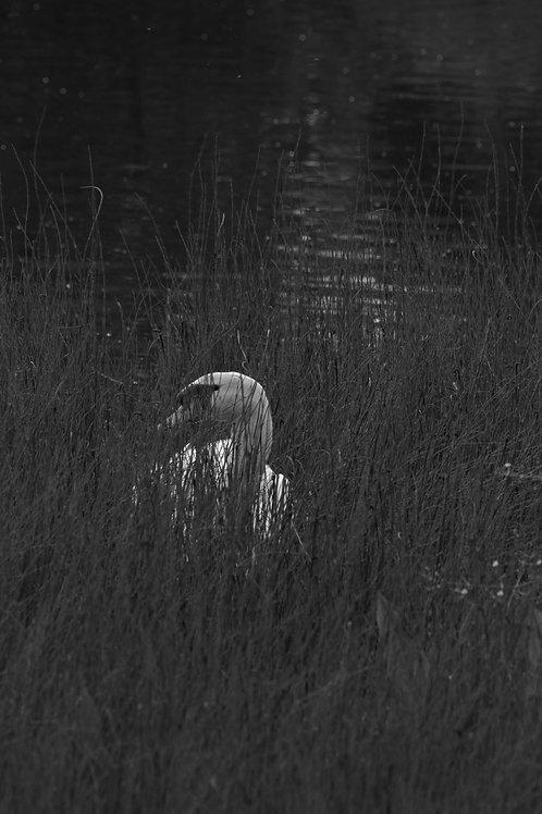 Monochrome swan