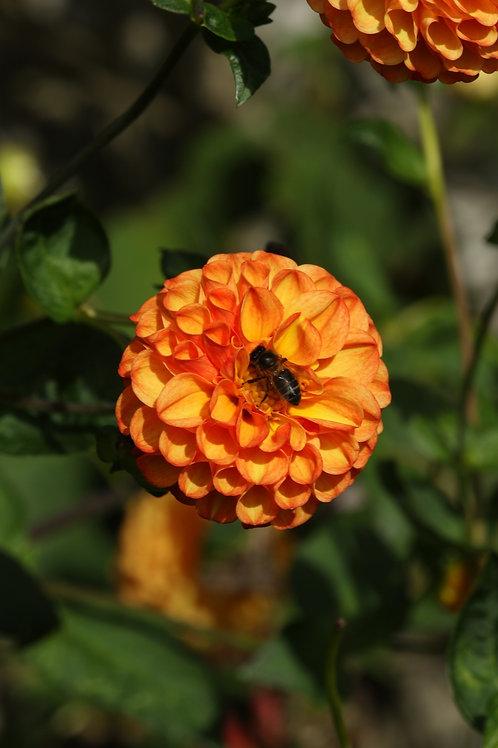 Orange agent