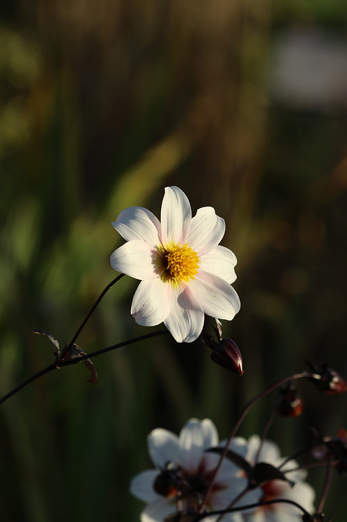 Shiny daisy