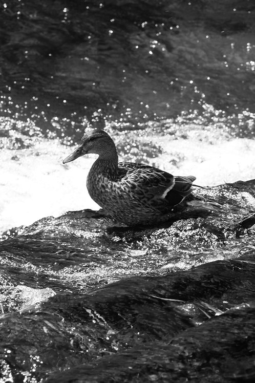 Stream and duck