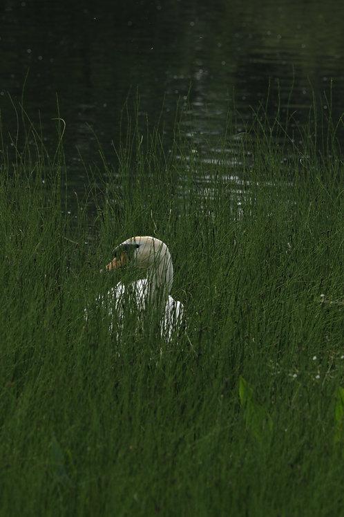 Hidden swan