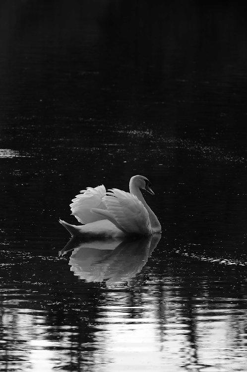 Argentix swan