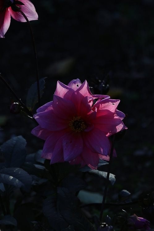 Pink and darkness