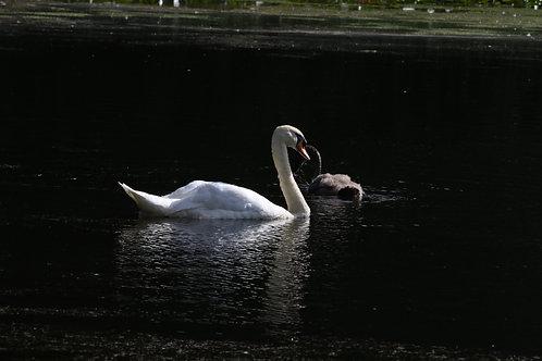Sun on swan