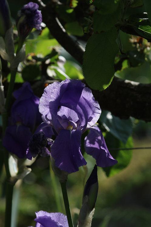 Purple delirium