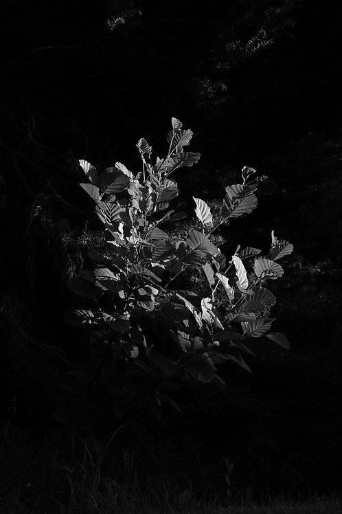 Argentix bush