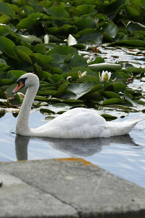 Swan pride