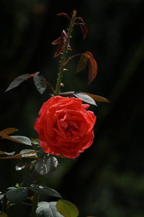 August red rose