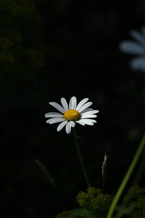 Daisy and darkness