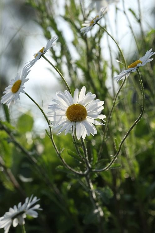 Lismore daisy