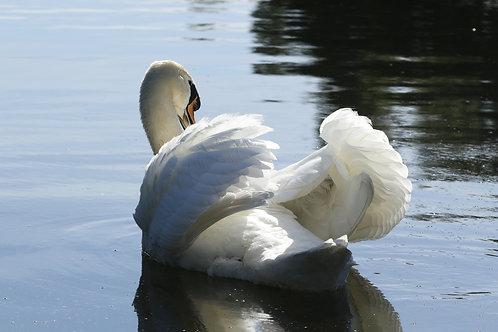 Waterford Swan