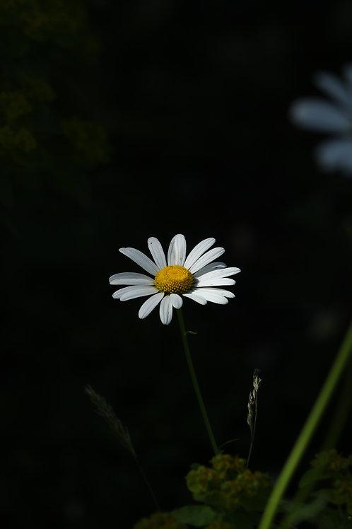 Irish daisy
