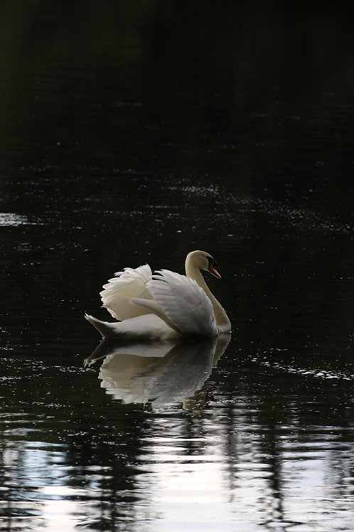 Swan's run