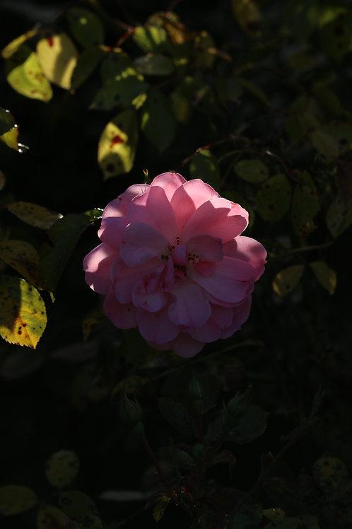 Pink desillusion