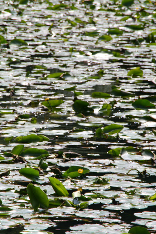 Water Lilies Paradise