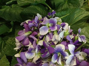 Wild Violet Pesto