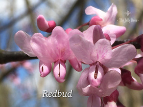 Redbud - Flights of Fancy