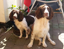 Happy Springer Spaniels
