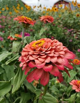 Van Houtte Farms Pink Flower